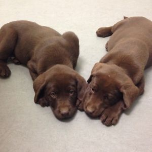 Best 25+ Chocolate labs for sale ideas on Pinterest | Chocolate ...