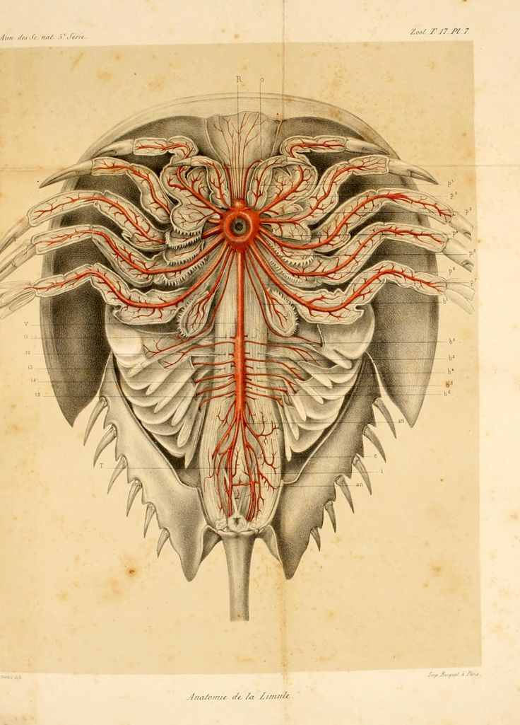 anatomy of the Atlantic horseshoe crab, Limulus polyphemus, from 'Recherches sur l'anatomie des Limules'