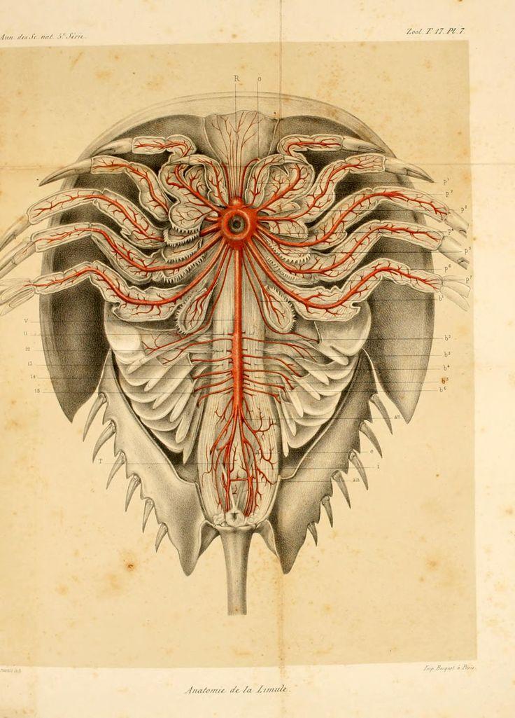 anatomy of the Atlantic horseshoe crab, Limulus polyphemus, from 'Recherches sur l'anatomie des Limules'