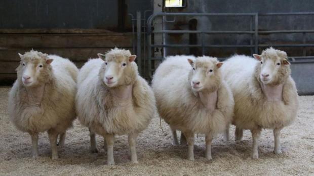 Undersøgelser af får klonet fra samme cellelinje som Dolly viser, at dyrene lever i bedste velgående på tiende år.