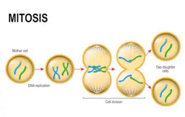 Cell Division Using The Process Of Mitosis Mitosis Meiosis Mitosis Activity