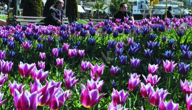 Kdz. Ereğli Belediyesi Park ve Bahçeler Müdürlüğü tarafından dikilen laleler, havaların ısınmasıyla birlikte çiçek açtı. Kent merkezi, park alanları, refüj ve kavşaklar ile sahil şeridi, renk cümbüşüne döndü.