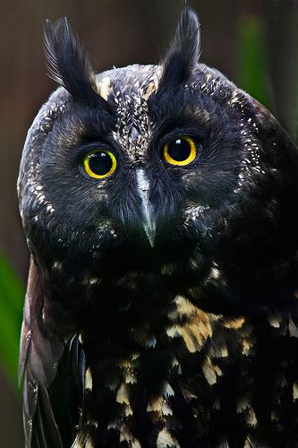 Black Owl Pinned by www.myowlbarn.com