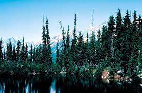 Resultado de imagem para floresta de coniferas inverno