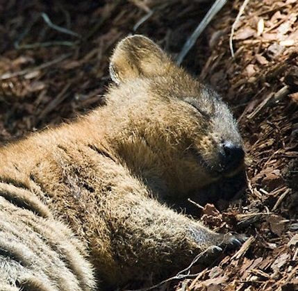 Quokka sleeping Bless these little Earthlings and their Habitats https://en.m.wikipedia.org/wiki/Quokka