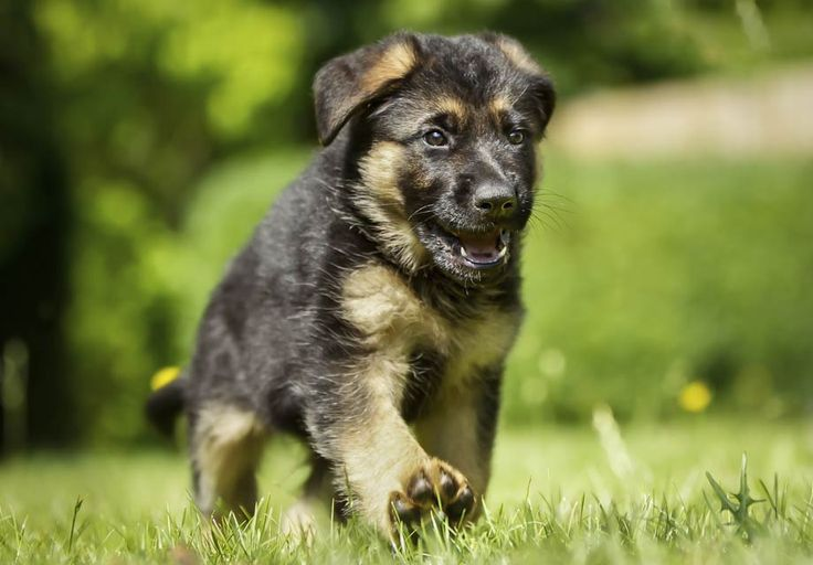 Find German Shepherd Dog Puppies near Santa Maria, CA and helpful tips and info. All purebred German Shepherd Dog puppies are from AKC registered parents.