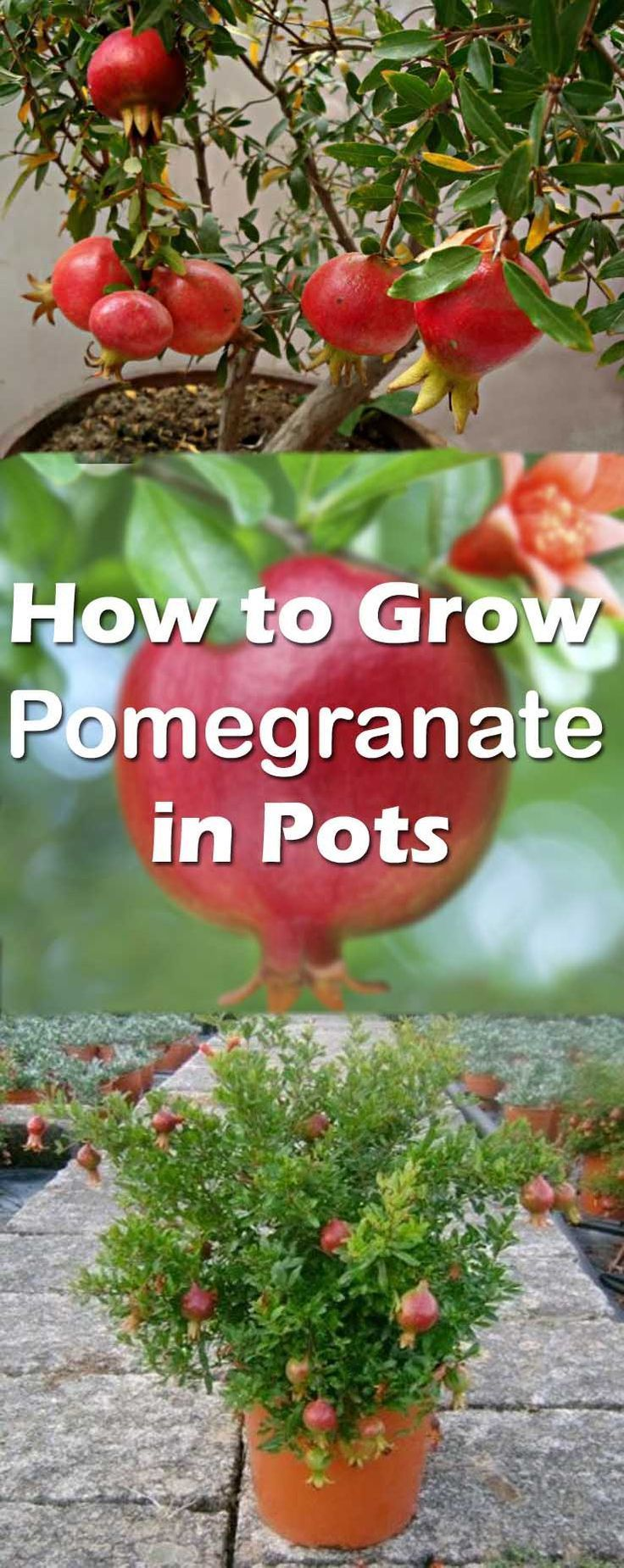 Pomegranate is one of the nicest fruit trees and perhaps the easiest to grow in pots because it has shallow root system when compared to other fruit trees. Learn How to Grow Pomegranate in Pots