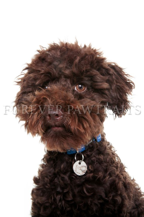 Bruno is a four month old toy poodle  Perth Pet Photographer- Furever Pawtraits  Photographer: Robbie Goodall