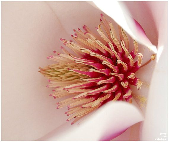 Magnolia Macro Photograph Pink Spring By OverTheRainbowPrints, $30.00 Amazing Design