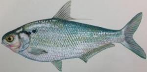 Next-generation gene sequencing can identify invasive carp species
