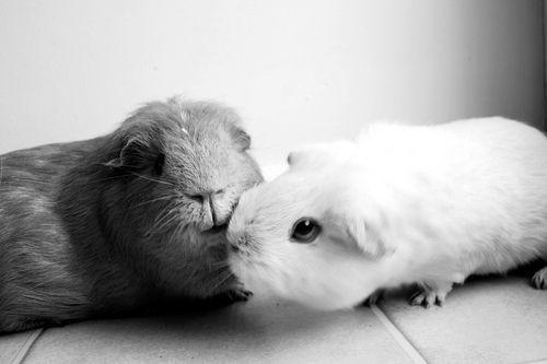 Guinea Pig Kiss