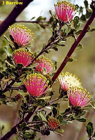 Matchstick Banksia (Banksia Cuneata) from a restricted area in south Western Australia (central Wheatbelt).