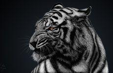 White Tiger Wallpaper 1080p for HD Wallpaper Desktop 1920x1080 px 636.76 KB