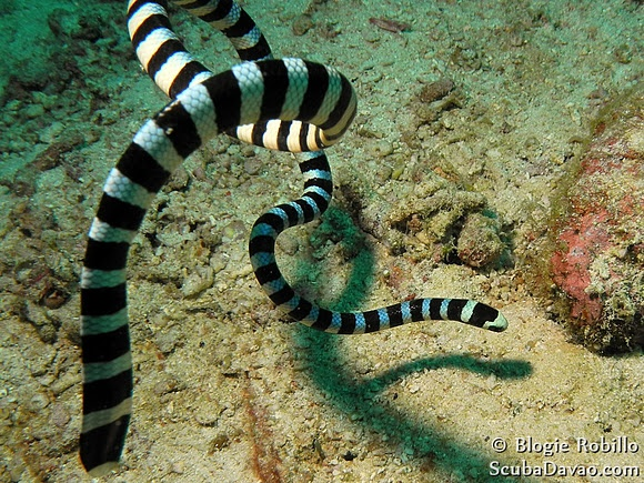 Banded Sea Krait (Laticauda colubrina), spotted by Blogie off Davao