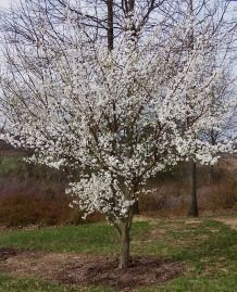 Plum tree in full spring bloom..Home Orchard - Flowering & Pollination