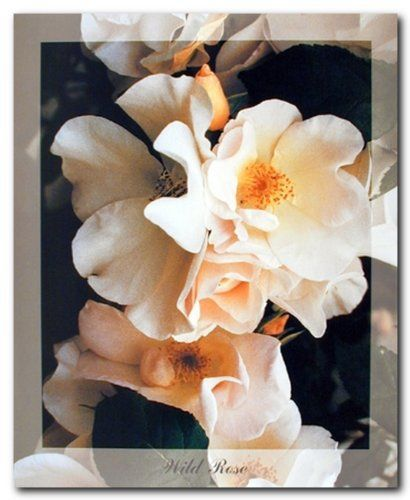 Adorn your living space with this wild rose flower wall decor art print poster. This poster depicts the image of beautiful white wild rose looks very attractive and charming that is sure to make perfect home decor and bring refreshing floral elegance to your domain. Your heart will melt every time you look at this poster. We offer durability and perfect color accuracy which keep long lasting beauty of Floral Posters And Prints.