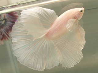 a beautiful beta: Baby Fish, Blushes Pink, Pet, Pale Pink, Tropical Fish, Beta Fish, Pink Fish, Ballerinas Fish, Betta Fish