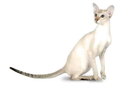 The Colorpoint Shorthair is a Siamese of a different color—non-traditional colors, that is. The breed was developed using Siamese as the foundation and then crossing it with a red American Shorthair to bring in a new color. That was successful and attractive, and the cats became the basis for a new breed: the Colorpoint Shorthair. Eventually, other non-traditional colors were created. The breed was recognized by the Cat Fanciers Association in 1964. The International Cat Association…