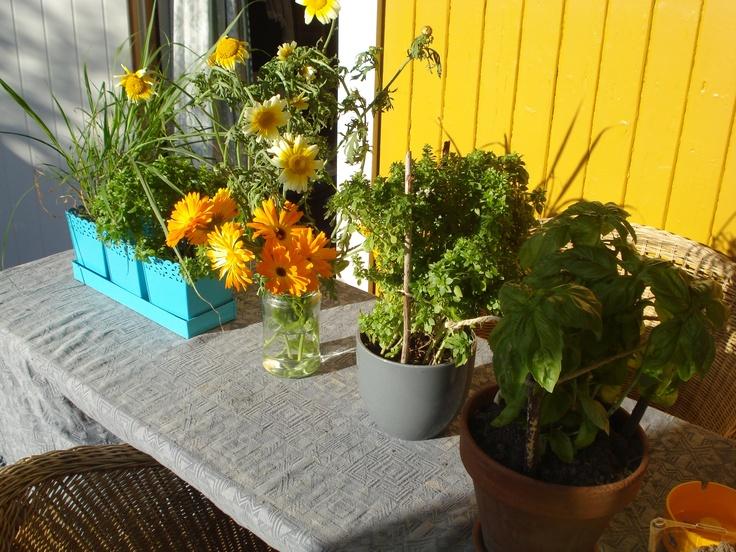growing herbs at my allotment.  photo: katinka hellum.