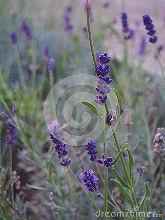 Beautiful lavender in a garden