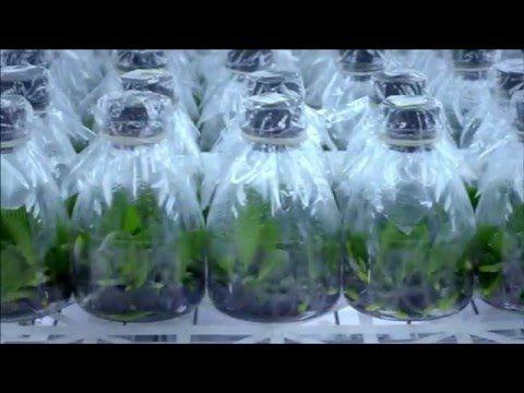 Evde Orkide Çiçeği Nasıl Yetiştirilir ? - Orchid Seed Germination Home To - YouTube
