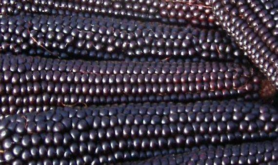 Popcorn, Organic Dakota Black Popcorn Seeds  
