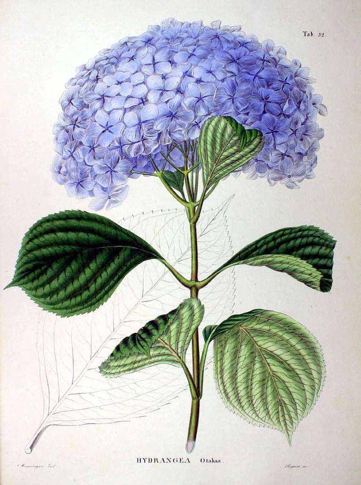 62894 Hydrangea macrophylla (Thunb.) Ser. [as Hydrangea otaksa Siebold & Zucc.] / Siebold, P.F. von, Zuccarini, J.G., Flora Japonica, t. 52 (1875) [Minsinger]