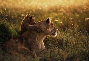 Обои трава, Львица, семья, поляна, львенок