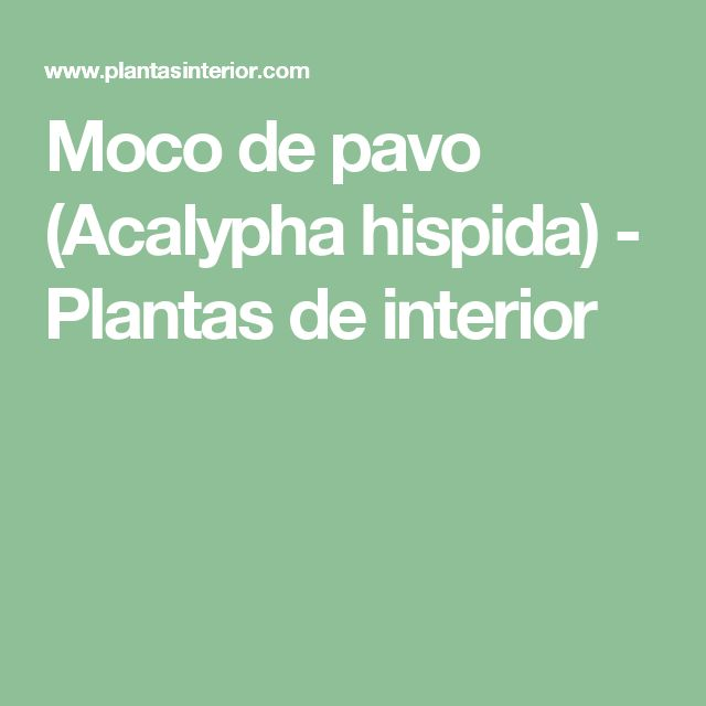 Moco de pavo (Acalypha hispida) - Plantas de interior