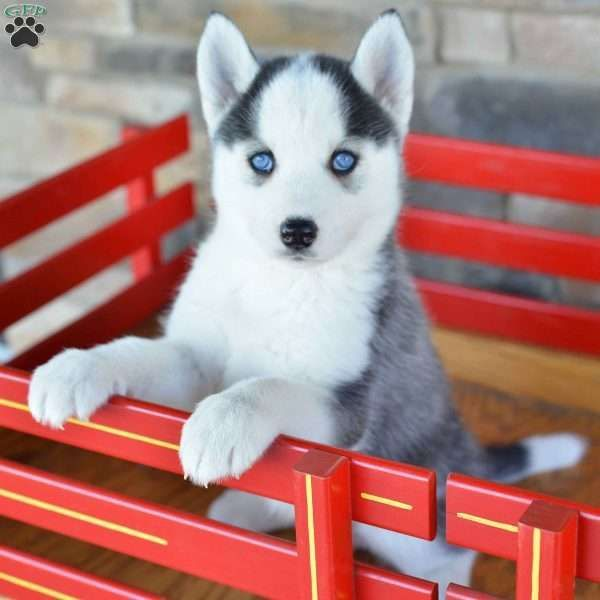 Lexy Siberian Husky Puppy For Sale In Ohio Husky Puppies For
