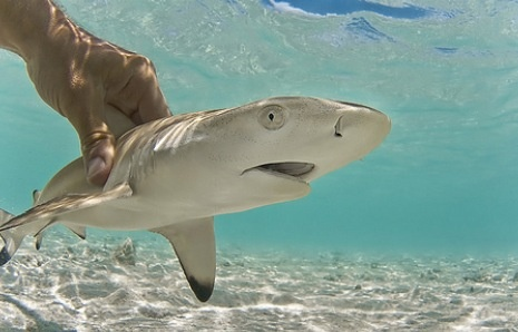 Forget about a puppy! I want a black tip reef shark pup ...