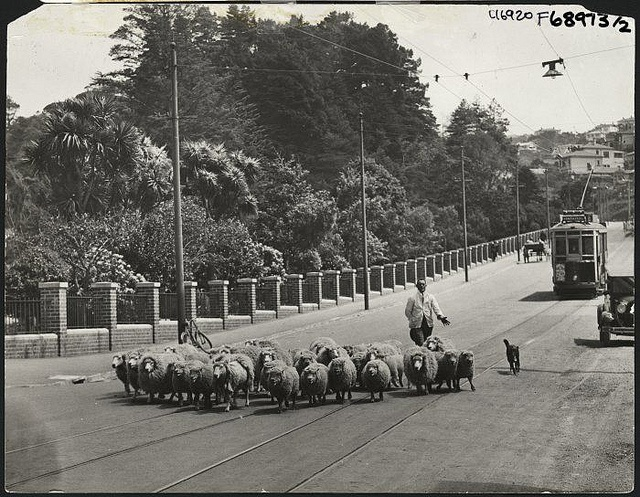 Herding sheep along Glenmore Street, Wellington. 1930s. National Library NZ.