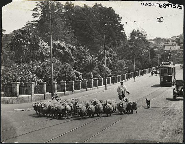 Herding sheep along Glenmore Street, Wellington. 1930s. National Library NZ.