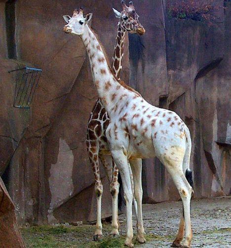 ;~): White Giraffes, White Animal, Animal Pictures, Albino Animals, Animal Baby, Beautiful, Baby Animal, Albino Giraffes, Photo
