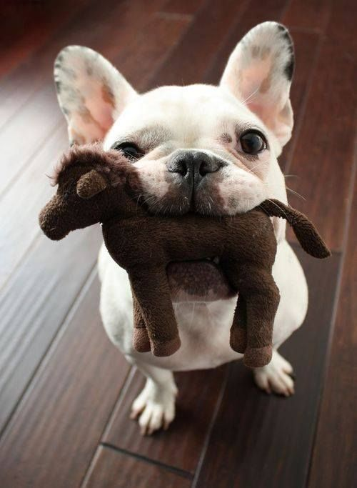 French Bulldog with a toy in its mouth.