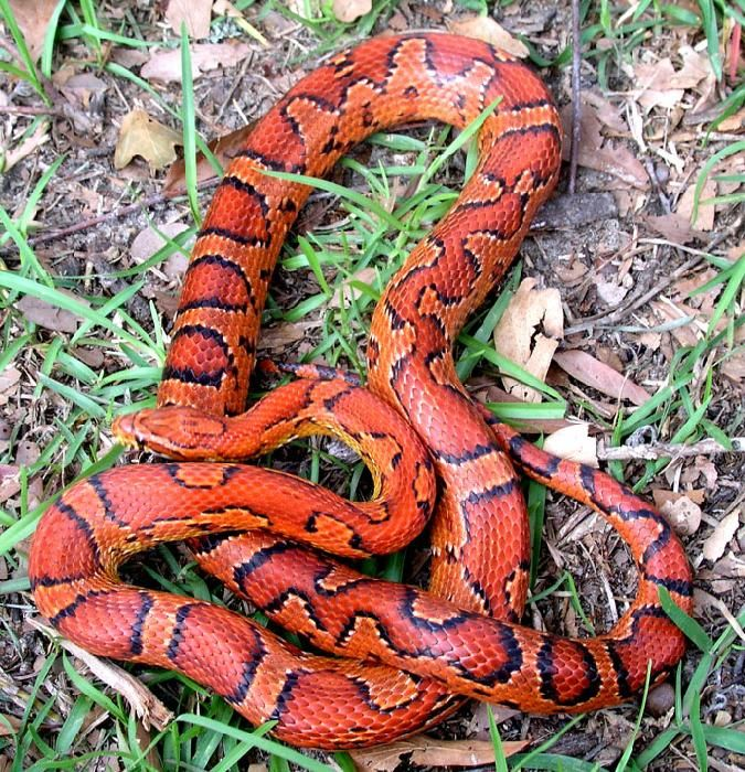 Corn snake. Can you see the heart?