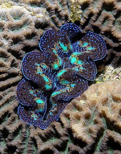 The marvelous Giant clam, a combination of animal and plant. Click for a paragraph on how they do it...