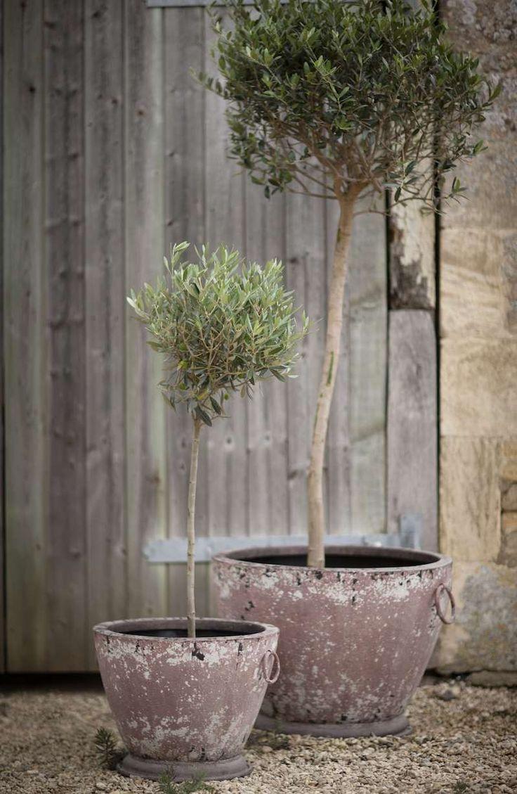 best 20 olivier en pot ideas on pinterest buxus espalier and plantes porche. Black Bedroom Furniture Sets. Home Design Ideas