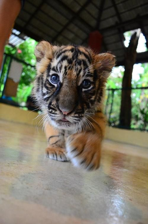 25+ best ideas about Baby tigers on Pinterest | Tiger cubs, Tigers ...