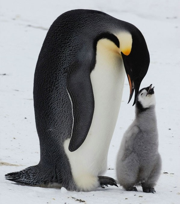 Smiling!King Penguins, Mothers Day, Animal Photography, Happy Feet, Baby Animal, Baby Pictures, Funny Animal, Emperor Penguins, Families Time