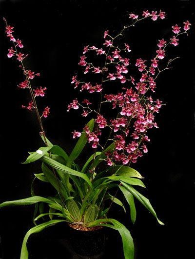 17 Best Images About The Sleeping Orchid On Pinterest