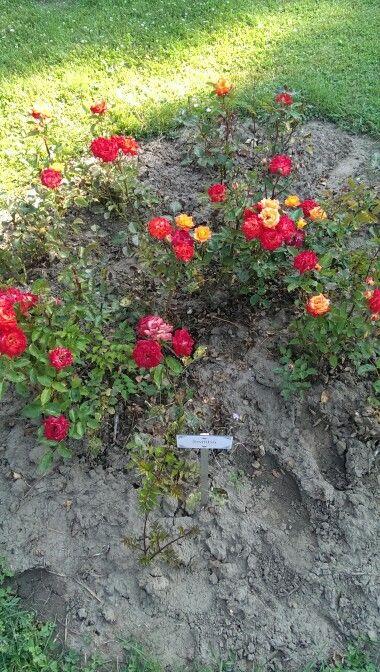 Még rózsa