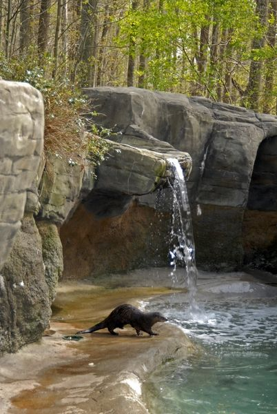 I can't get enough of cute river otters.  This the West Virginia State Wildlife Center.