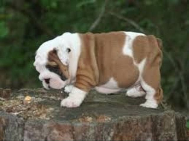 listing English bulldog puppies for adoption is published on Free Classifieds USA online Ads - http://free-classifieds-usa.com/for-sale/animals/english-bulldog-puppies-for-adoption_i27198
