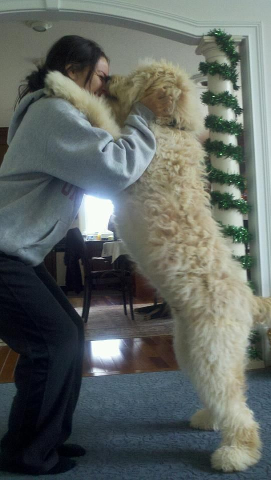 My Teddy Bear Goldendoodle! Almost as tall as me!!