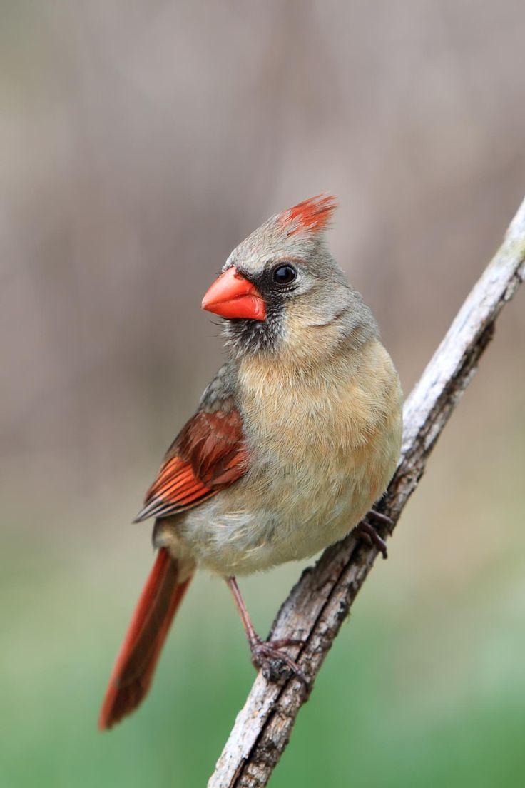 28 best birds of toronto images on pinterest beautiful birds