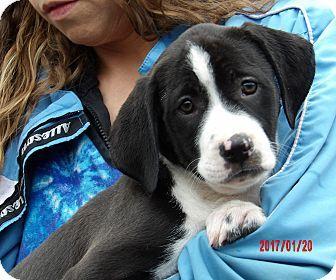 West Sand Lake, NY - Great Dane/Border Collie Mix. Meet Takoda (11 lb) Video!, a puppy for adoption. http://www.adoptapet.com/pet/17447087-west-sand-lake-new-york-great-dane-mix