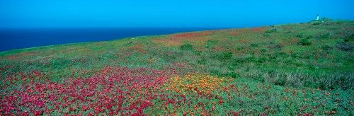 Iceplant and coreopsis on Anacapa Island (Blue), Channel Islands, California Poster Print (36 x 12)