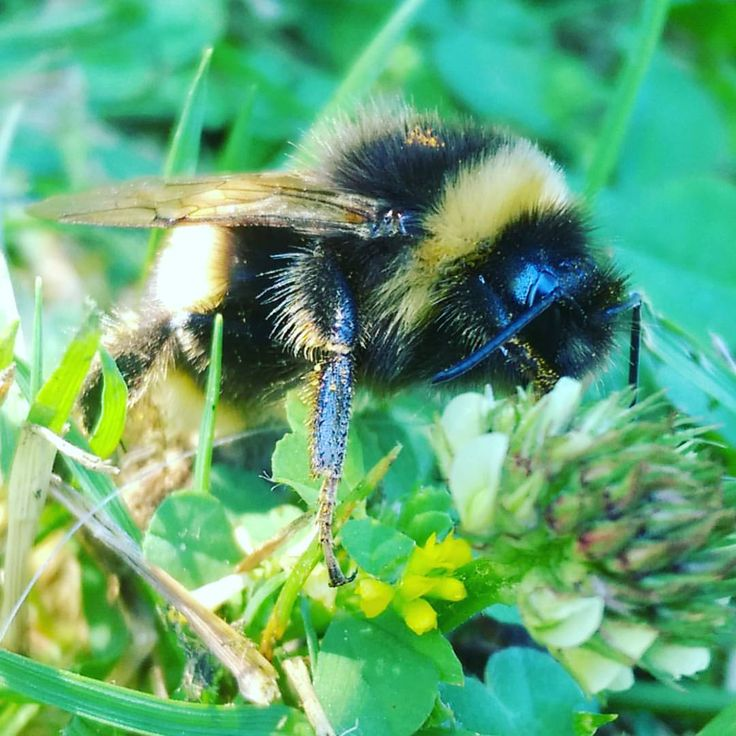 Found this wee guy crawling around our lunch today. So cute! Love bumblebees, such gentle souls. (at Darfield, New Zealand)