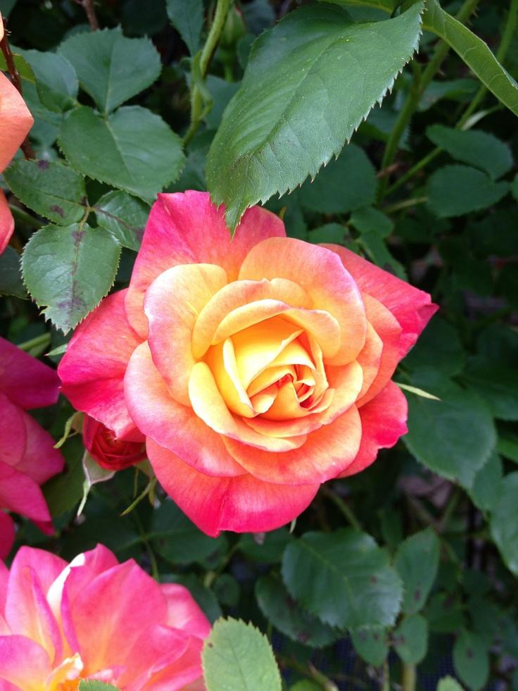 Mamaw's Beautiful Rose Bush